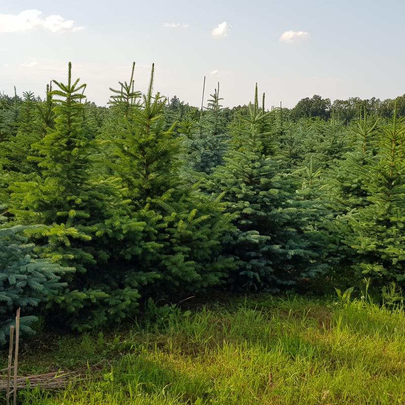 Vánoční stromky 2020